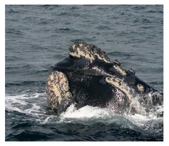 Hermanus Whale Watching Image